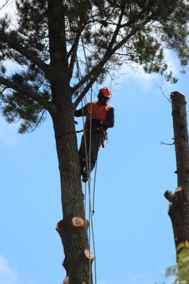 Arborist / tree climber preparing to remove the head of a tree