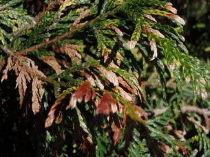 Cypress leaves damaged by fungal infection