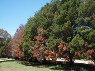 Conifer dieback due to Seiridium, Farm windrow trees