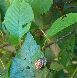 Larger holes on Elm leaves may be from snail damage - a little unusual though.