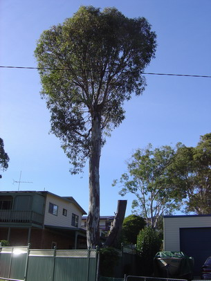 Tree lopping resulting in vigorous regrowth