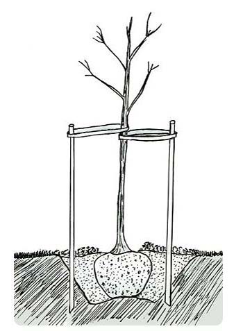 How to plant a tree, tree staking, hole depth