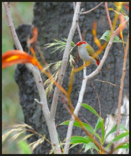 Treetec, arborist Melbourne, Red Browed Firetail. Treetech