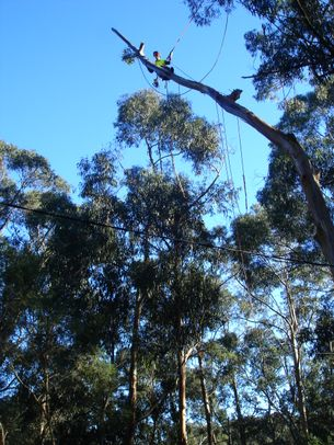 Arborist removing a large tree in the Dandenong Ranges east of Melbourne