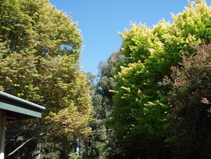 two Elm trees: one treated for Elm leaf beetle (soil injection) and the other with no treatment - Arborist Melbourne