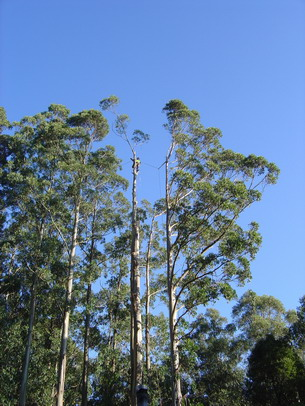 Tree removal near Melbourne of large E. regnans - arborist Melbourne
