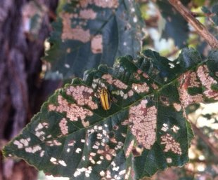 Elm beetle spray