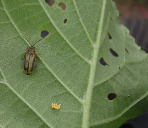 Elm Beetle and eggs