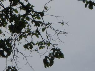Elm Leaf Possum Damage